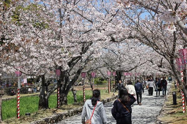 大村公園、長堀近くの桜のトンネルの写真