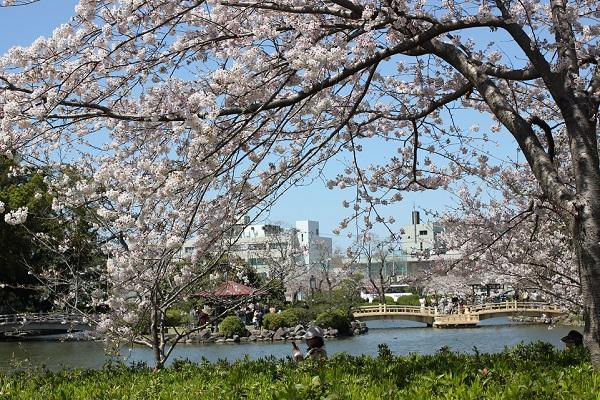 大村公園のソメイヨシノと池の写真