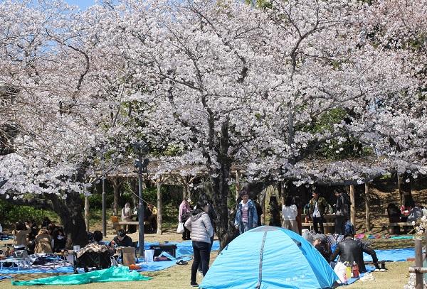 池の周辺にある広場、満開のソメイヨシノのしたでお花見している人達の写真