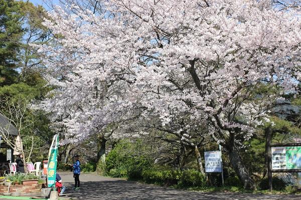 野岳湖公園、トリム広場に近く、満開の桜の写真