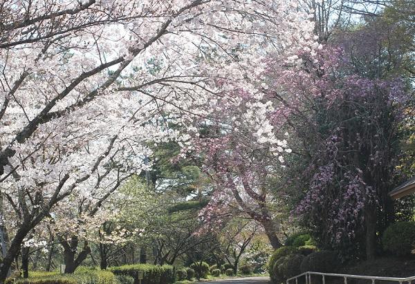 野岳湖公園のキャンプ場へ続く道の桜の饗宴