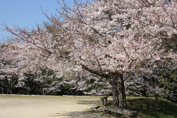 ロザ・モダ広場のグランドゴルフやゲートボール場になってる場所の桜