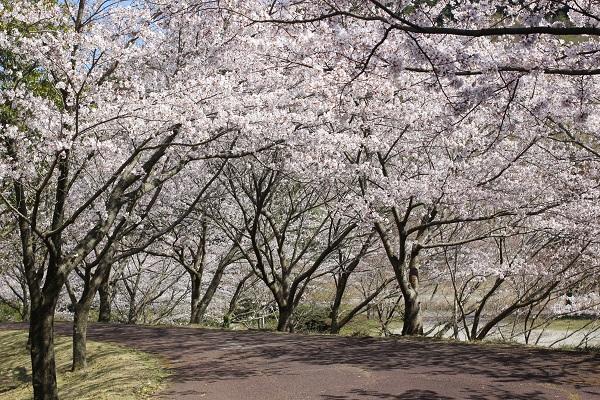 ロダ・モダ広場の桜のトンネルの写真