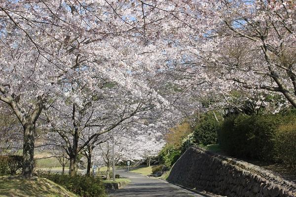 水辺の広場へ続く道、桜並木の写真