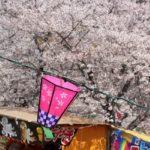 立山公園のサクラとボンボリの写真