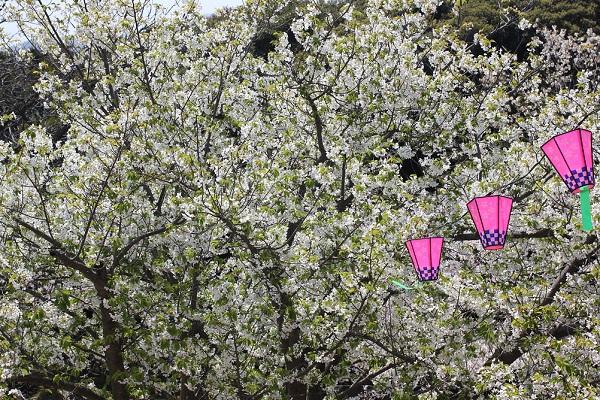 立山公園展望台近くの満開の桜とボンボリの写真