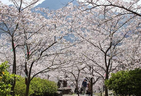 立山公園の桜並木の広場写真