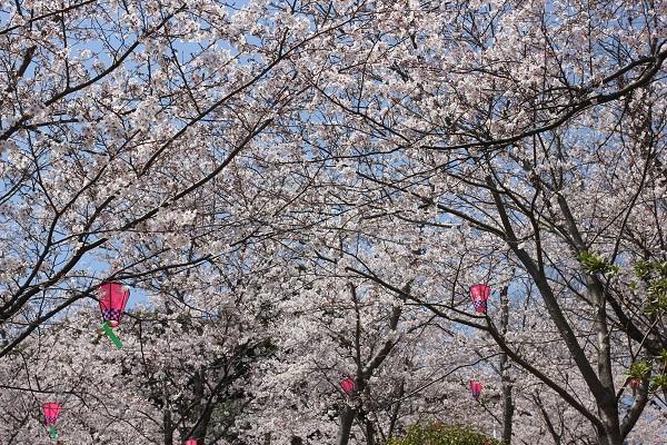 立山公園の広場、満開に咲き乱れる桜の写真