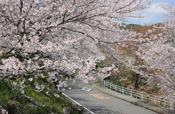 立山公園へ行く道、桜のトンネルの道路写真