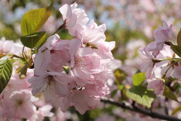立山公園に咲く、八重咲の美しい桜とミツバチの写真