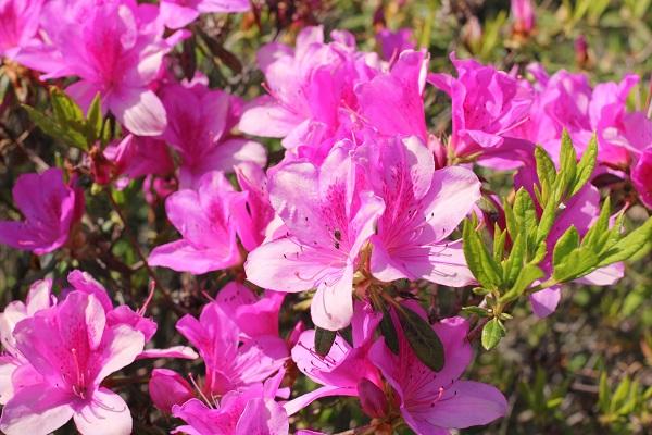 伊王島灯台、綺麗に咲いてるツツジの写真