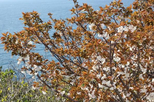 伊王島灯台、海を臨む山桜の写真