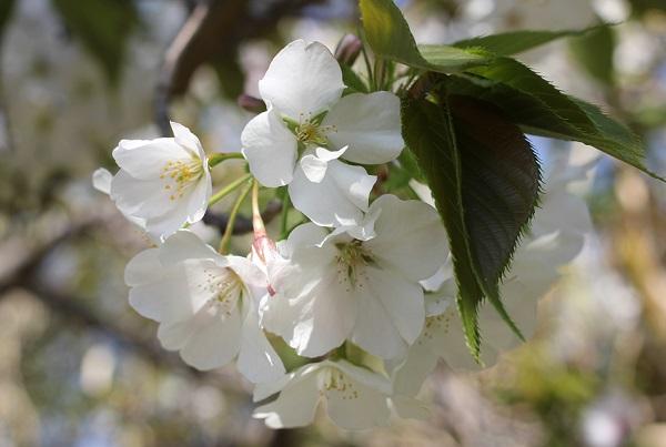 伊王島灯台、綺麗に咲いてる山桜の写真