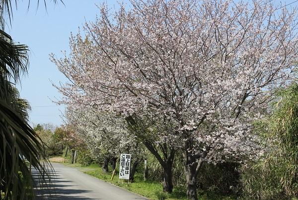 伊王島灯台の入り口、満開の桜の写真