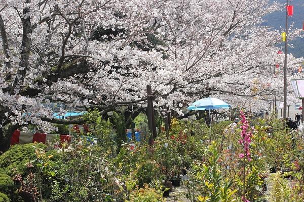 橘神社の参道、植木の出店の写真