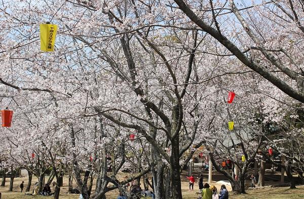 橘神社、千々和相撲所の広場の桜とお花見の様子の写真