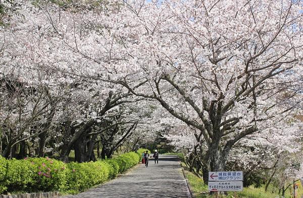 城跡展望台・城山グランドへ上る桜並木、桜のトンネルの様子の写真