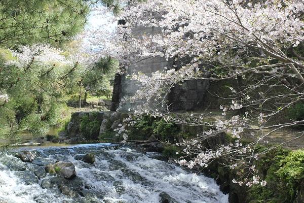 橘神社の河川公園の景色の写真(桜と川)