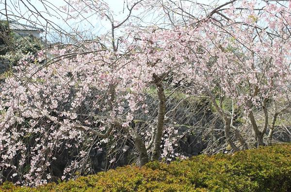 橘神社の河川公園に咲くしだれ桜の写真