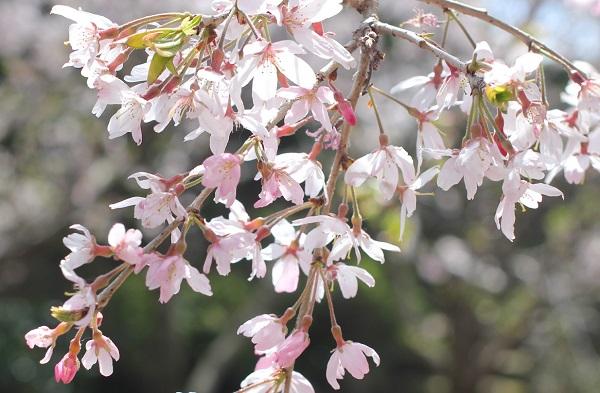 橘神社の河川公園のしだれ桜のアップ写真
