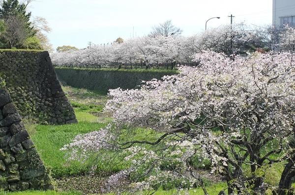 島原城の堀端に続くの桜並木の写真