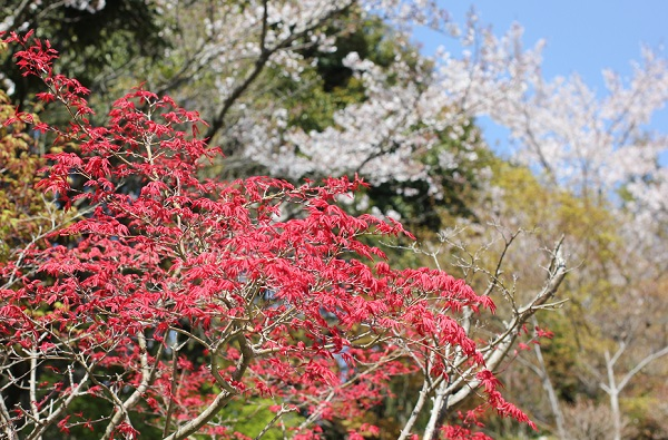 ランランランの庭、赤紅葉と桜の写真