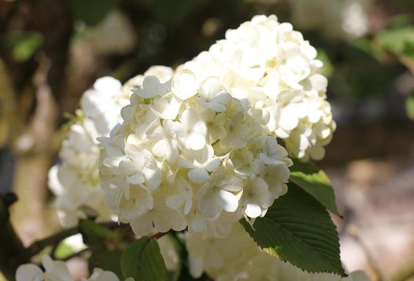 Run.らん.ランの庭園、オオデマリの花のアップ写真