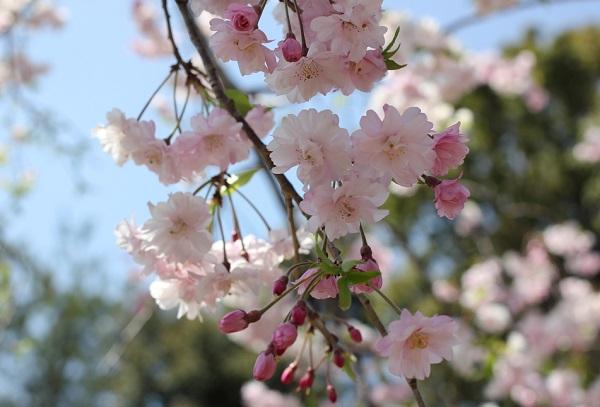Run.らん.ランの庭園、八重桜の花のアップ写真