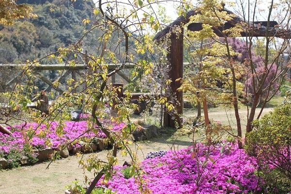 Run.らん.ランの和風手作り庭園の芝桜が咲いてる写真