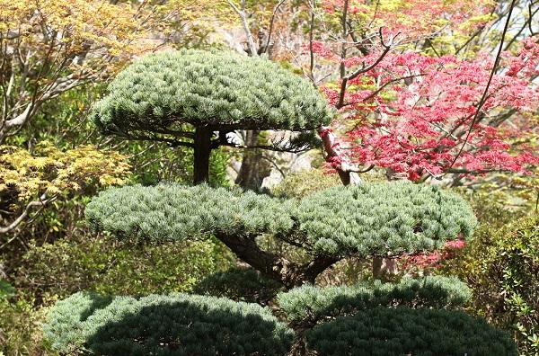 Run.らん.ランの庭園、剪定された美しい松の写真