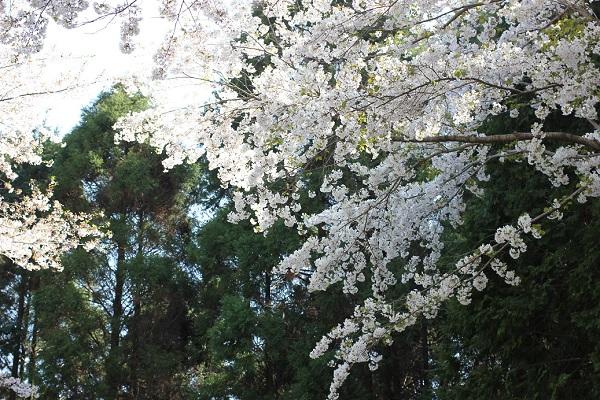 乳待坊、満開の桜と檜の写真