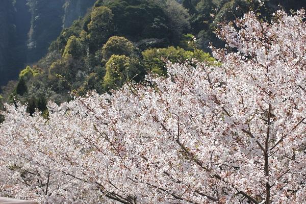 乳待坊公園の展望台からの景色写真(満開の桜と山)
