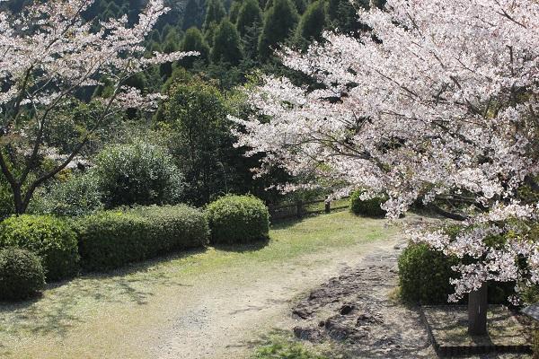 乳待坊公園の桜とツツジの写真