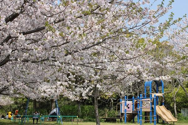 神の島公園の広場、桜と遊具の写真