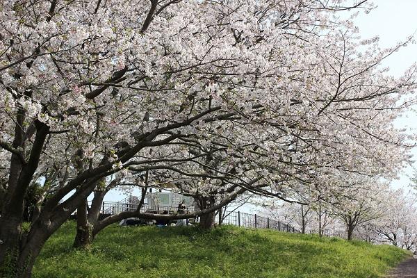 神の島公園、展望所へ上る道と満開の桜の写真