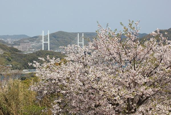 神の島公園の桜と展望所からの景色写真(女神大橋方面)