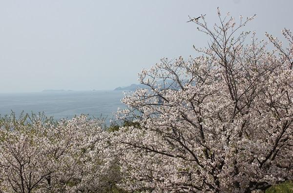 神の島公園の満開の桜と展望所からの景色写真