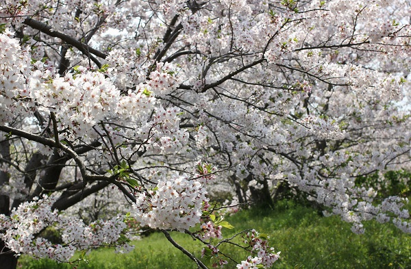 神の島公園、広場に咲く満開の桜の写真