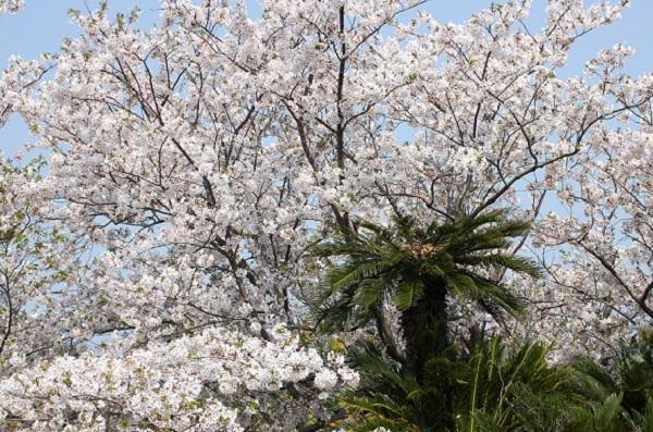 神の島公園の桜とソテツの写真
