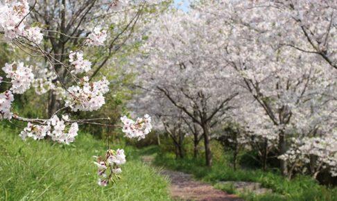 神の島公園の桜の並木の写真