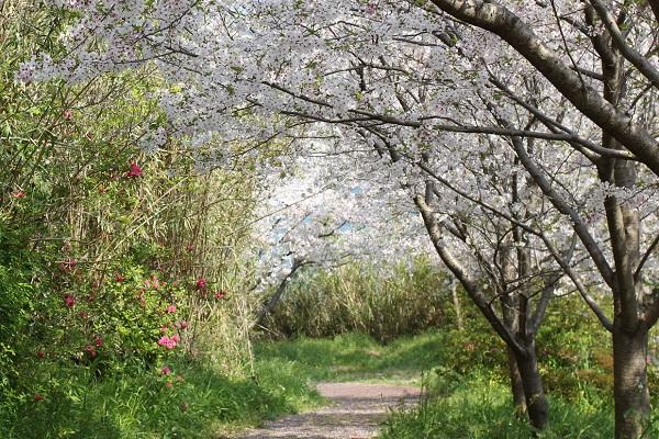神の島公園の小道、桜のトンネルの写真