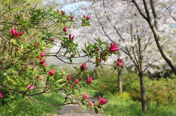 神の島公園の小道に咲いてるツツジと桜の写真