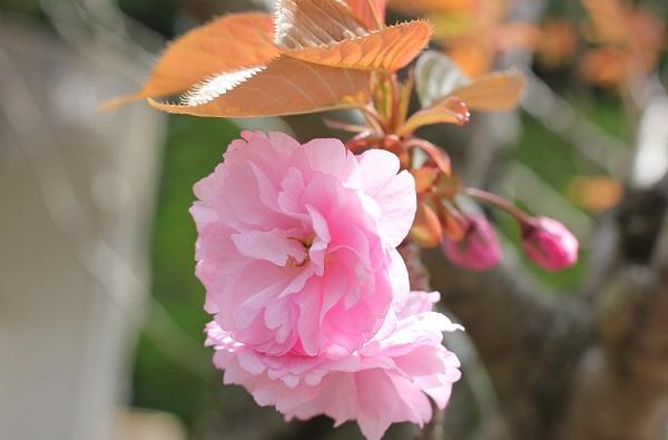 とても可愛らしいピンクの八重桜のアップ写真