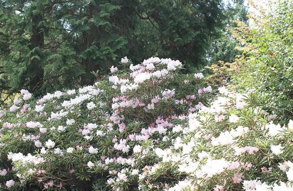 檜を背景とした満開の石楠花の写真