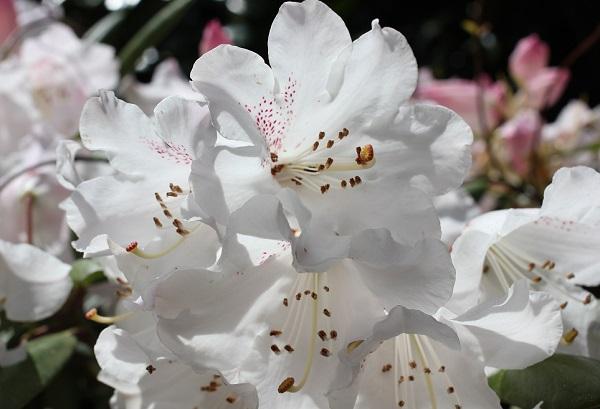 美しい白の石楠花のアップ写真