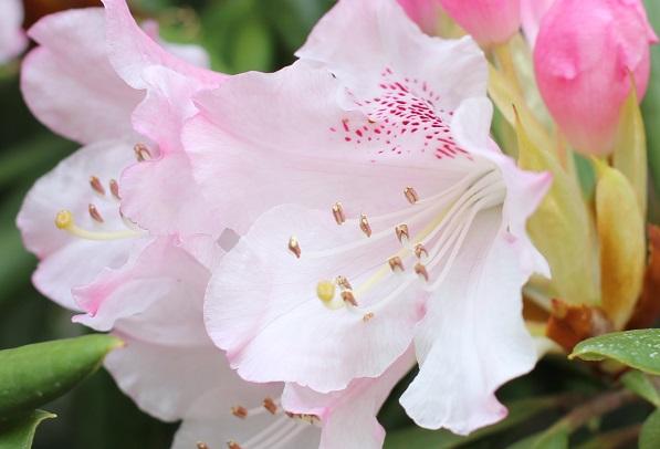美しい薄いピンクの石楠花のアップ写真