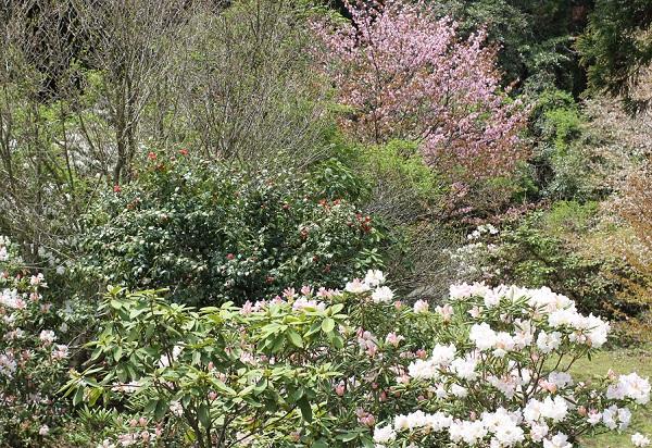 駐車場近くから見下ろした風景、石楠花、桜、椿が咲いてる様子の写真