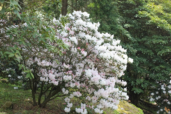 山の斜面に咲く美しい石楠花の姿写真