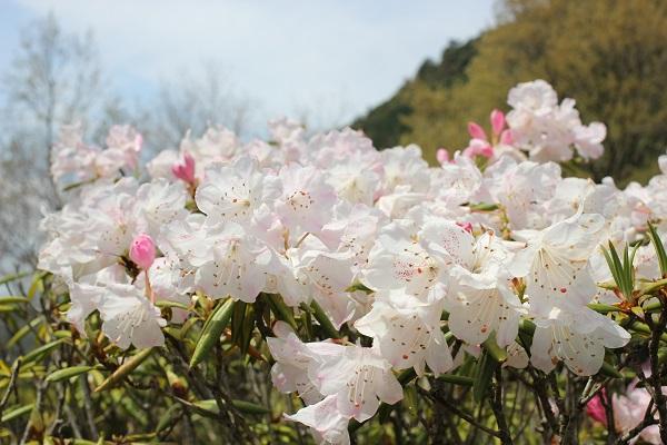 シャクナゲの里、空と山を背景に咲く石楠花の写真