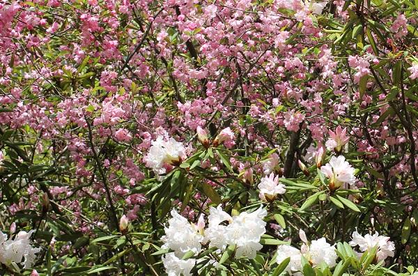 キュートなピンクの桜と白い石楠花の写真